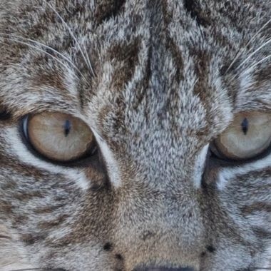 Got some close up  shots of a bobcat yesterday