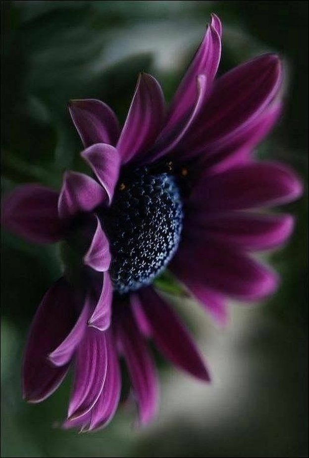 Purple Daisy  by christyhofstetter - Shades Of Purple Project