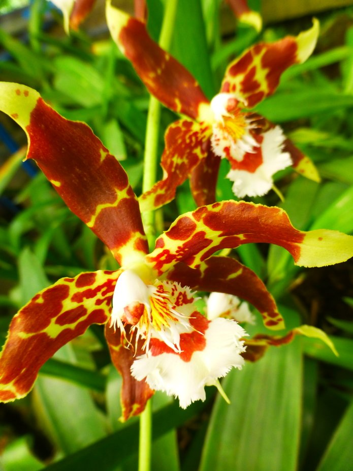 Corresponde a una fotografía de Orquídea realizada en Quito Ecuador.