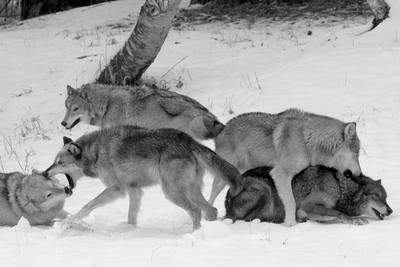 Wolf pack behavior. Vying for dominance.