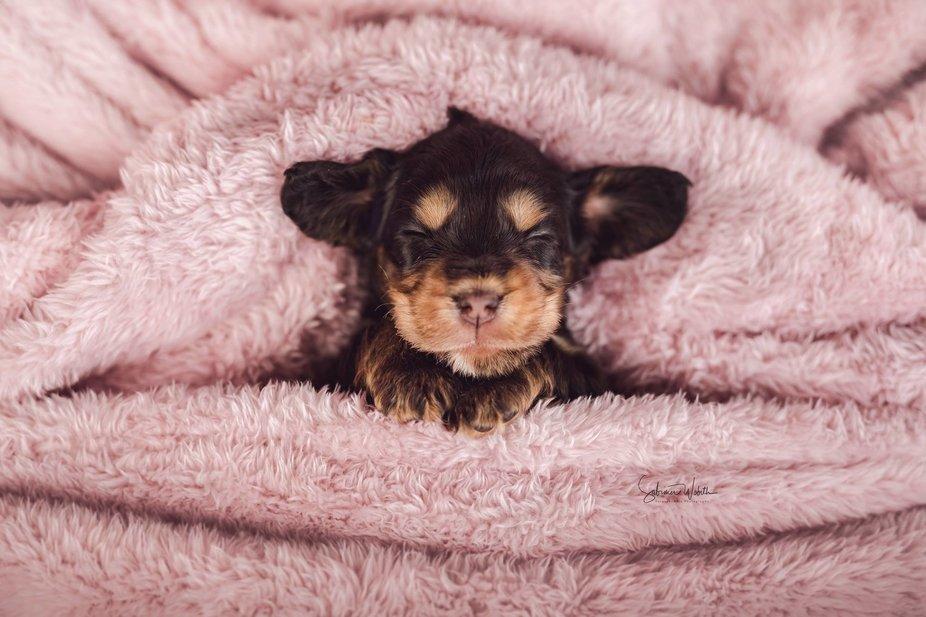 English Cocker Spaniel puppy say good night