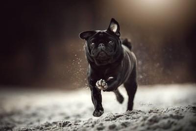 Black Pug running