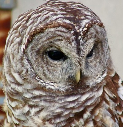 Owl on the look out