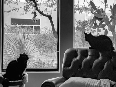 Feline Confrontation in B-W By the Window (2018-03-13 09.00.13-1)