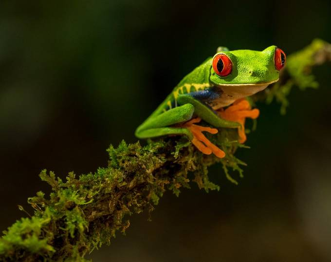 Red-eyed Tree Frog by zmachacek - Colorful Macro Photo Contest