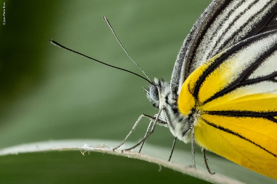 I had no plan to make photo that day, but stole a bit of time to capture this butterfly in the ga...