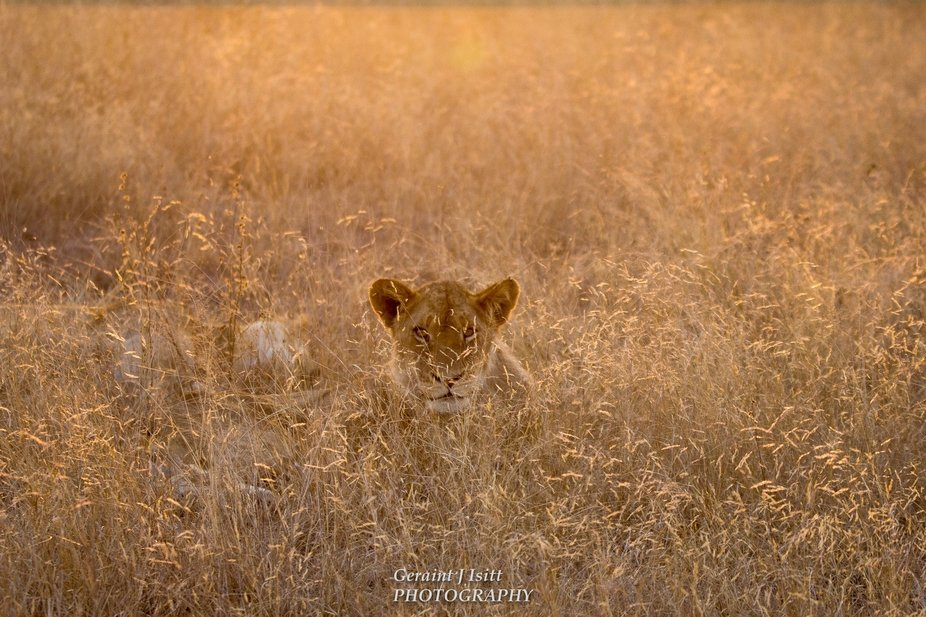 The warm sun casts a golden glow over this young lioness