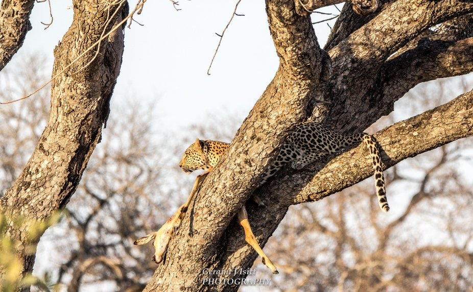 A mother leopard protects her kill while surveying the land around her