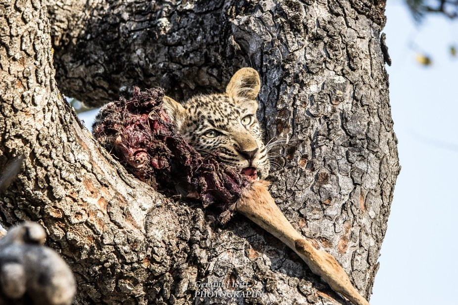 A young leopard enjoying his impala shank (and probably the rest of the impala later).