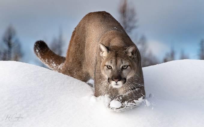 mountain lion wwm-6 by ronconigliaro - Monthly Pro Photo Contest Vol 48