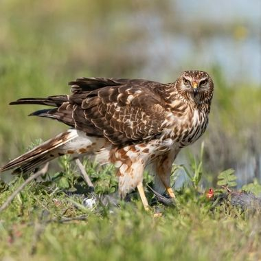 Northern Harrier having a coot for breakfast.