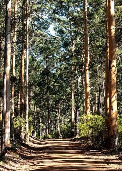 Tall Karri trees