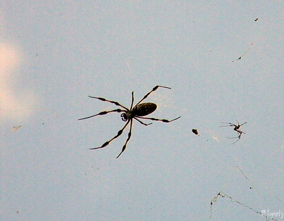 Spider walking over head with his buddy not far behind