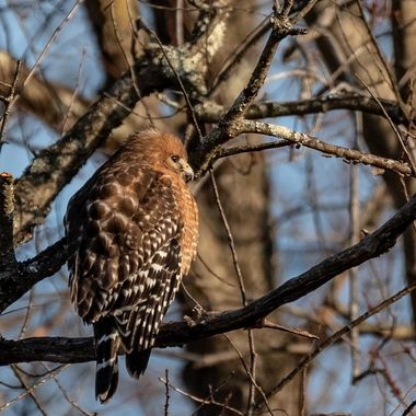 These beautiful hawks hunt woods and streams often sitting in trees and waiting an opportunity to catch a meal: snake, frog, mouse, squirrel, moles, voles, birds...
