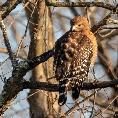This  is an adult Red-Shouldered Hawk observing a large open yard with a few Canada Geese feeding on the grass. The geese seemed un concerned. This bird feeds on rodents, squirrels, snakes, frogs, rabbits, etc.     DSC_2774
