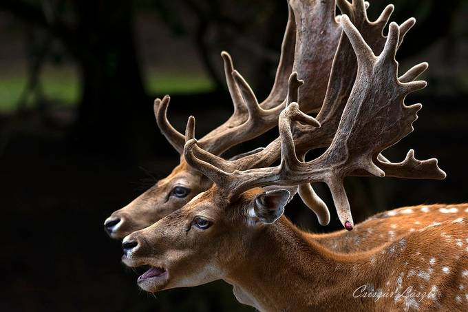 Fallow deers by csiszarlaszlo - Image Of The Month Photo Contest Vol 42
