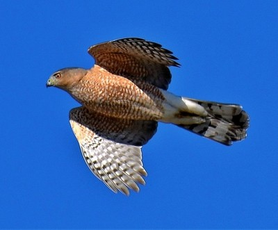 Coopers Hawk on the move
