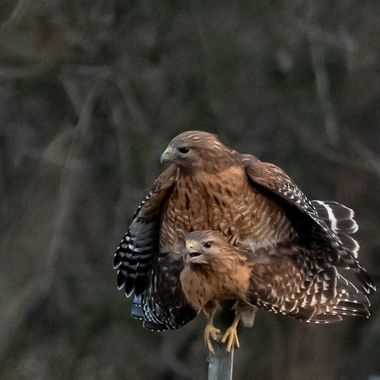 These two adult Red-Shouldered Hawks have been visiting our backyard for years. Some years they bring their young to hunt. Looks like the beginning of a great year.    DSC_2804