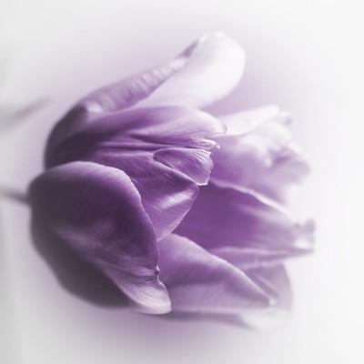 Tender Tulip