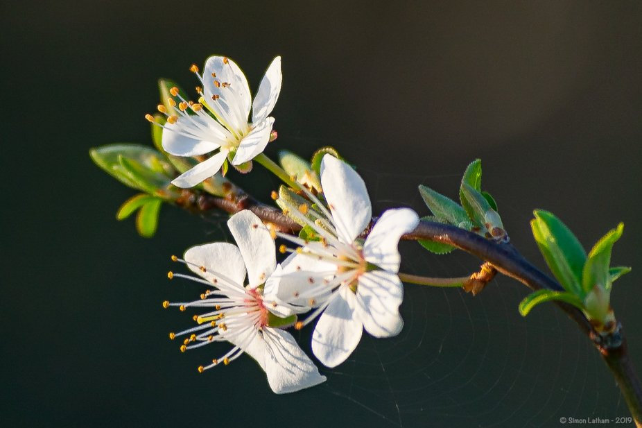 Close-up shot of Cherry Blossoms, with a spider's web attached.