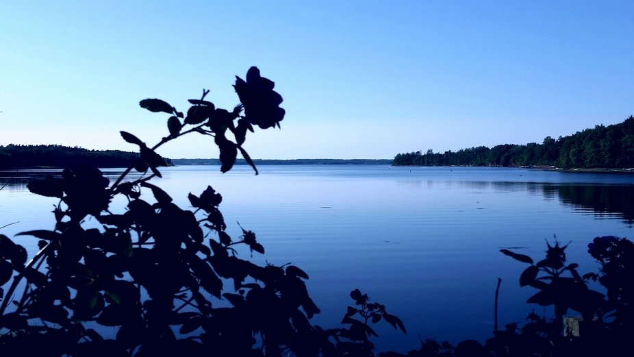 Wild roses over calm water