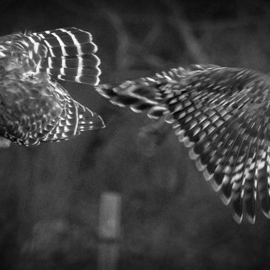 Male Red-shouldered hawk leaving the scene after mating.    DSC_2806