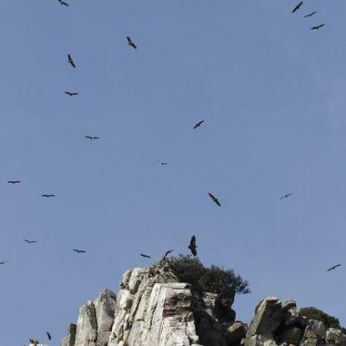 """Colonia de Buitres comunes o leonados (Gyp fulvus), en el """"Salto del Gitano"""" de Monfrague (Caceres-Spain)"""