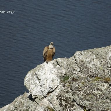 Buitre leonado (Gyp fulvus), en el Salto el Gitano de Monfrague (Caceres-Spain)