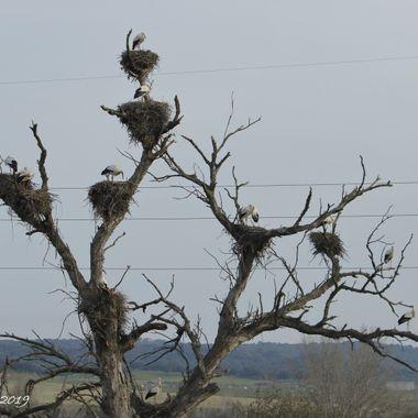 Arbol con varios nidos de cigueñas (Ciconia ciconia), cerca de Plasencia (Caceres-Spain)