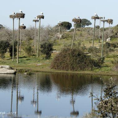 Colonia de cria de Cigueñas comunes (Ciconia ciconia), sobre postes para facilitar su anidacion en la zona de los Barruecos, en Malpartida de Caceres (Caceres-Spain)
