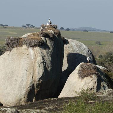 Colonia de cria de ciconias comunes, los nidos estan encima de grandes rocas, llamadas Berruecos. Malpartida de Caceres-Spain