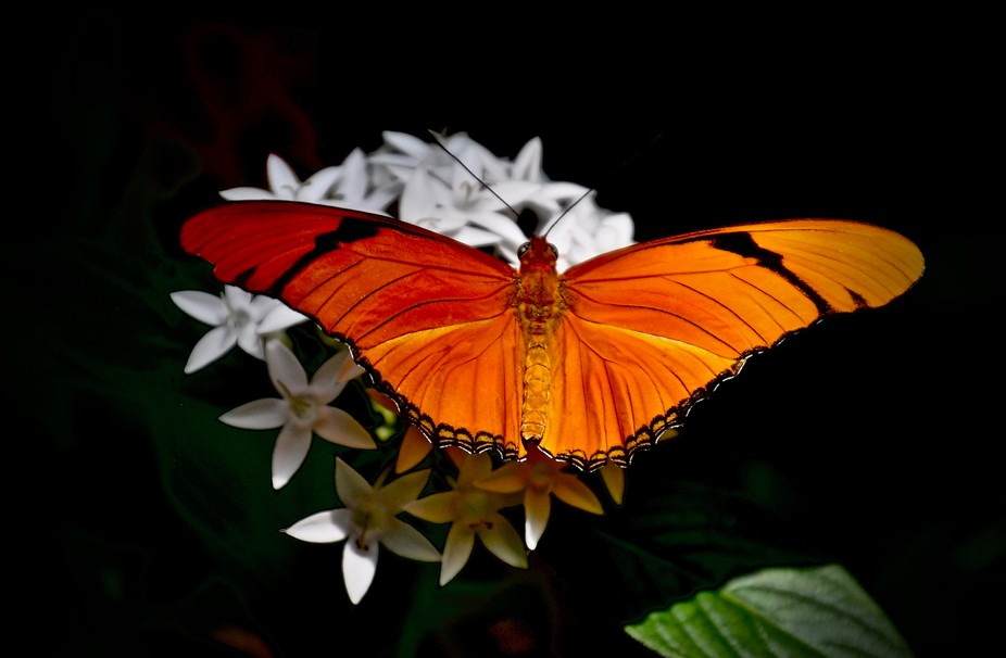 Dryas ilia Julia Longwing Neotropical butterfly.  Photograph taken at the Butterfly Wonderland in...