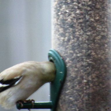 Goldfinch eating