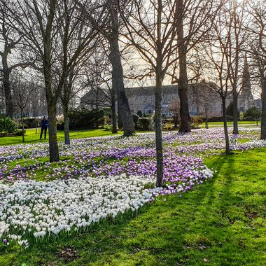 Crocuses galore in Grant Park, Forres along with young Admirer