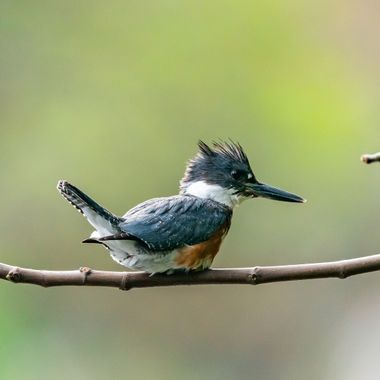 Belted Kingfisher-08110
