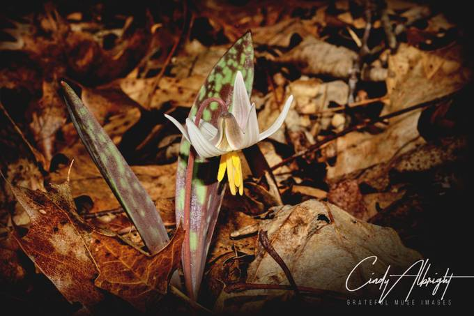 I found this delicate beauty hidden among a cover of dead leaves, in early Spring.  Trout Lillies are magical little woodland treasures.