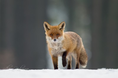 I'm going out of the forest (Vulpesvulpes)