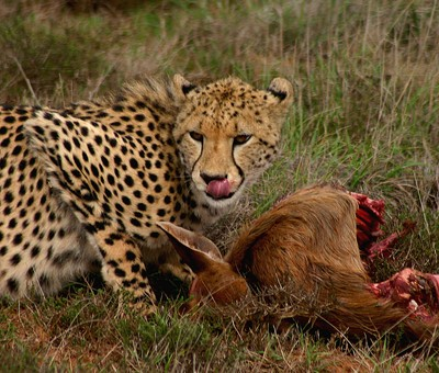 Leopard with Prey