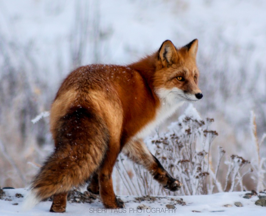 Saw this beauty outside of Fairbanks in Alaska. Loved shooting him he posed for me for about 20 m...