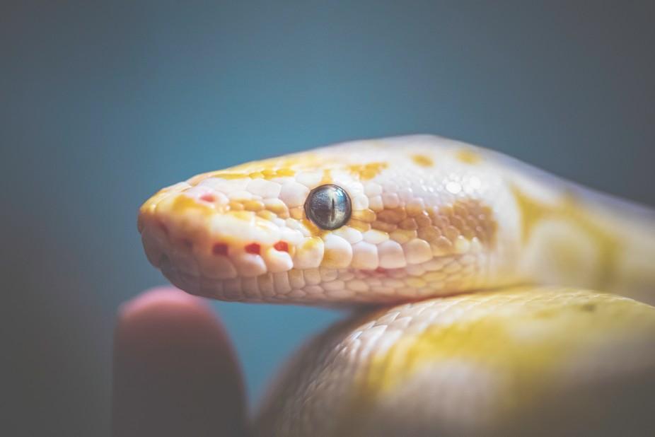 Pastel Banana spider ball python