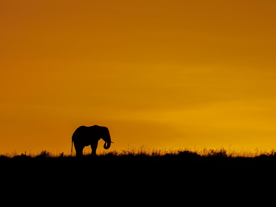 As the sun came up over the Masai Mara, this elephant was kind enough to find breakfast up on a h...