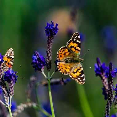 Painted Lady-08030