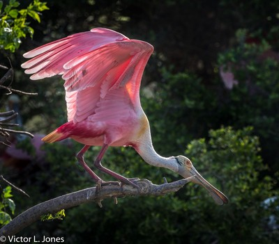 Roseate Spoonbill - Bolivar, Texas