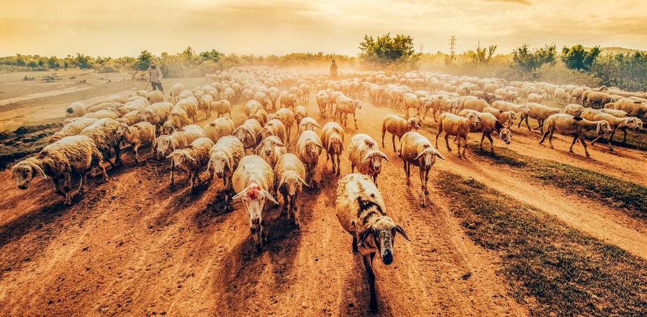 Photos taken in a sheep farm, Ninh Thuan, Vietnam. Grazing sheep walk dozens of kilometers away, ...