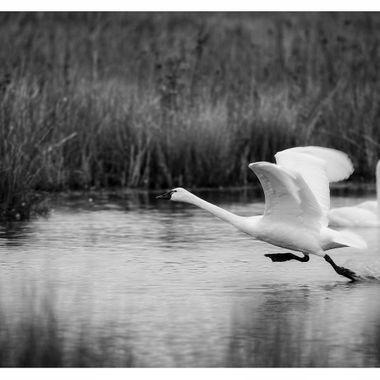 Tundra Swan running BNW