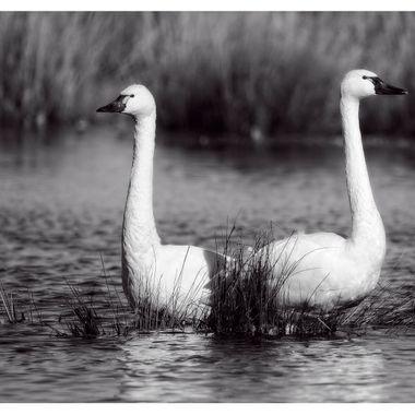 Tundra Swan Pair BNW
