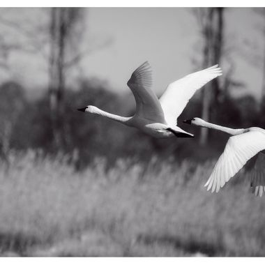 Tundra Swans -pair