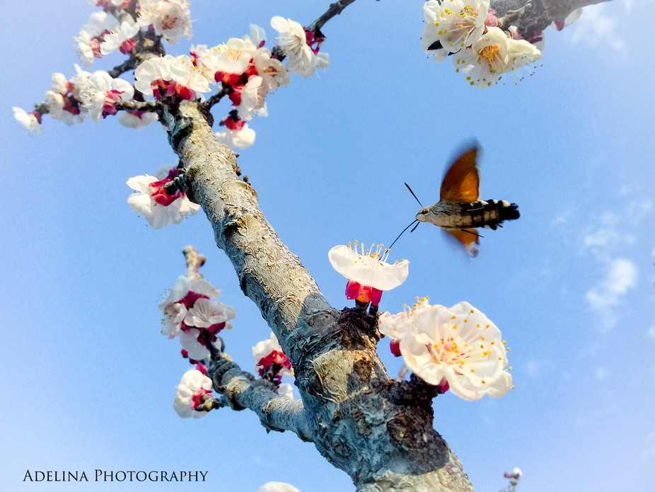 Very hard to capture this Hummingbird hawk-moth, but I was surprised when I saw the details in th...