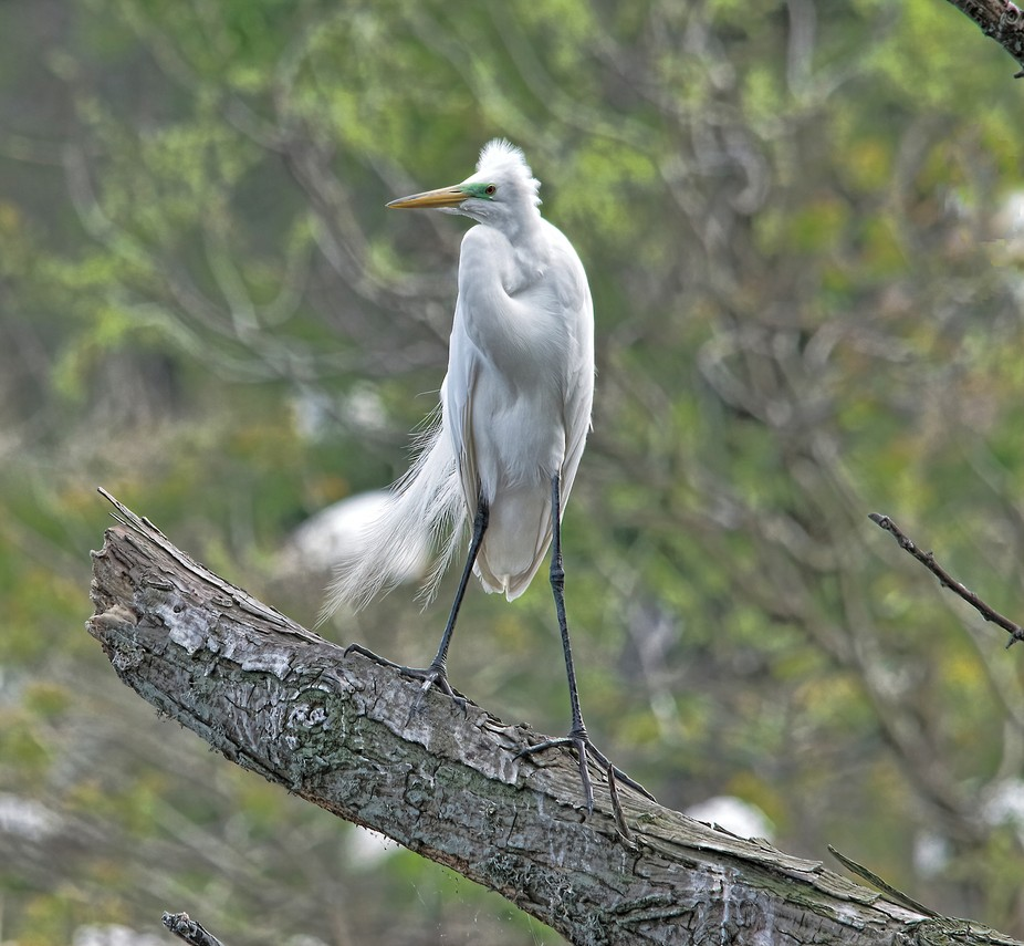 Egret watching as wind blows feathers