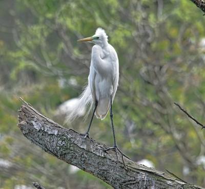 Windy Day Egret